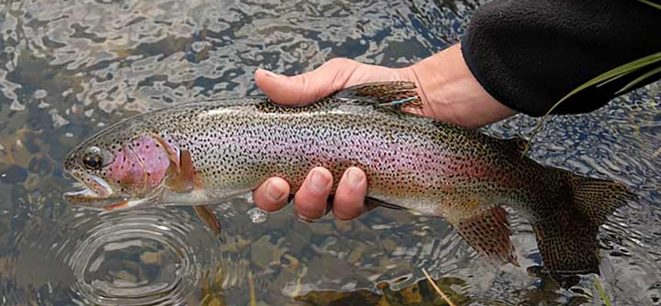 A rainbow trout held in the hand of a person above water. The pink, iridescent sheen obvious down the fish's side