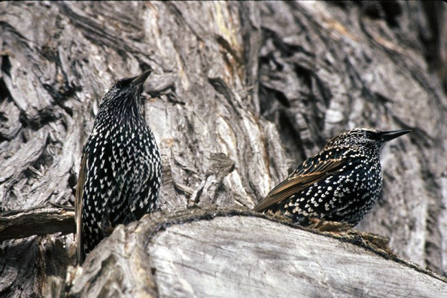 Two chunky, dark, and glossy birds perched on a rock