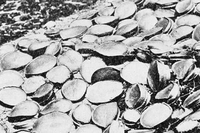 Sun-dried meat of green abalone on San Clemente Island, 1913. Photographer unknown.