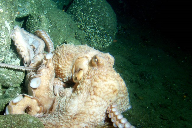 tan octopus emerges from the rocks