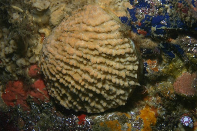 tan rock scallop attached to rock underwater