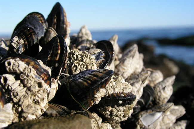 group of mussels attached to a rock with the ocean in the background
