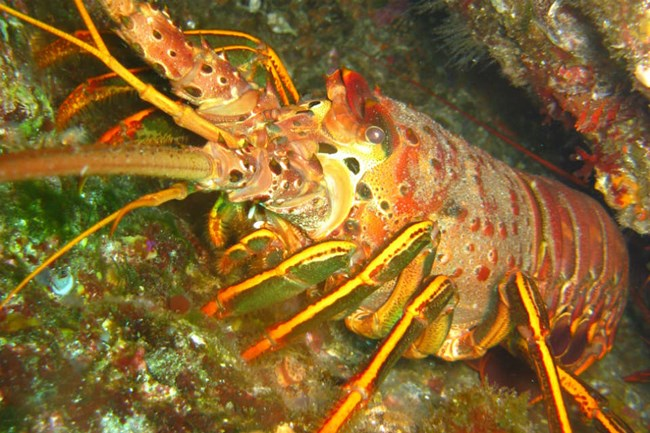 red spiny lobster emerges from rocky crevice