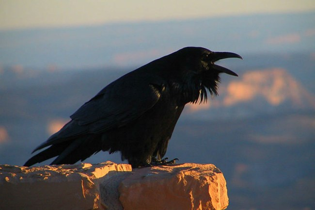 Black raven cawing from a rocky perch