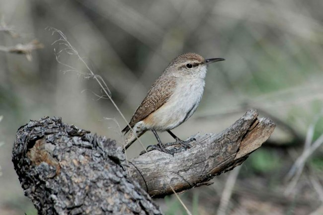 gray rock wren perched on a log