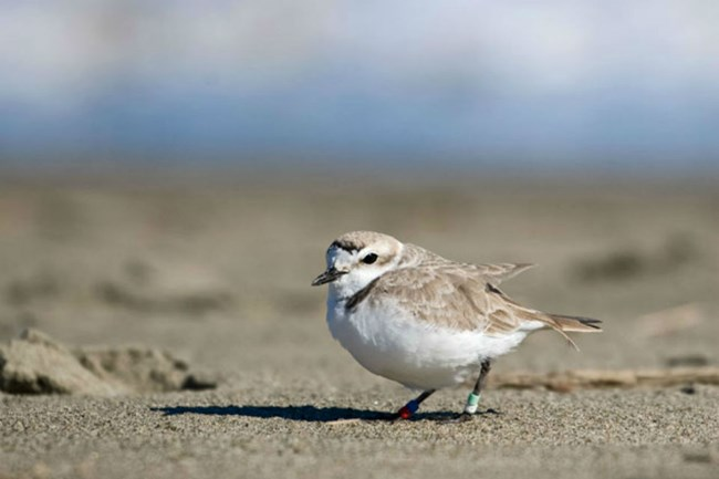 white and brown snowy plover on sandy beach
