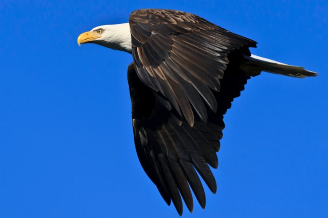 white and brown bald eagle flying in blue sky