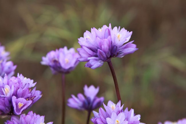 close up view of purple flowers on green stems