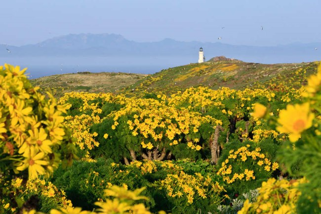 field of blooming coreopsis with yellow flowers and green leaves with view of Anacapa lighthouse in distance
