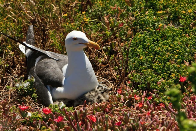 white and gray gull sitting on iceplant nest with black and gray spotted chick