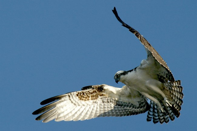 Grey and white osprey in mid-flight
