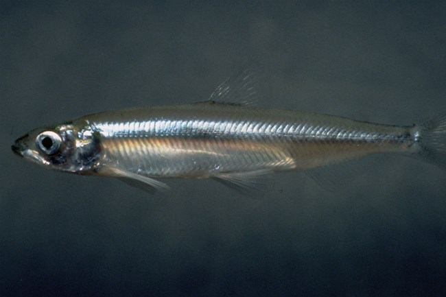 close up view of translucent smelt
