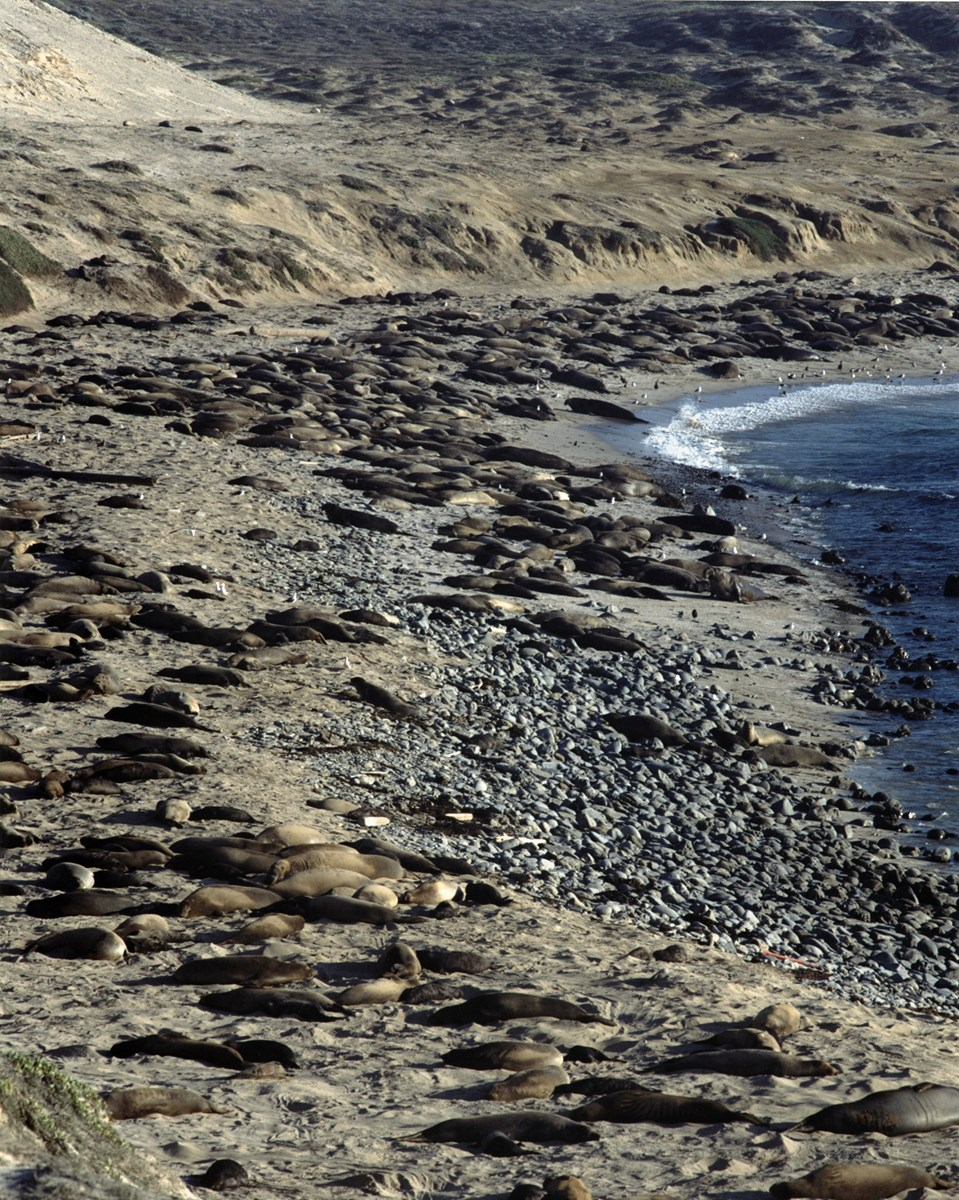 Elephant seals on San Nicolas Island beach. Courtesy of Steve Schwartz.