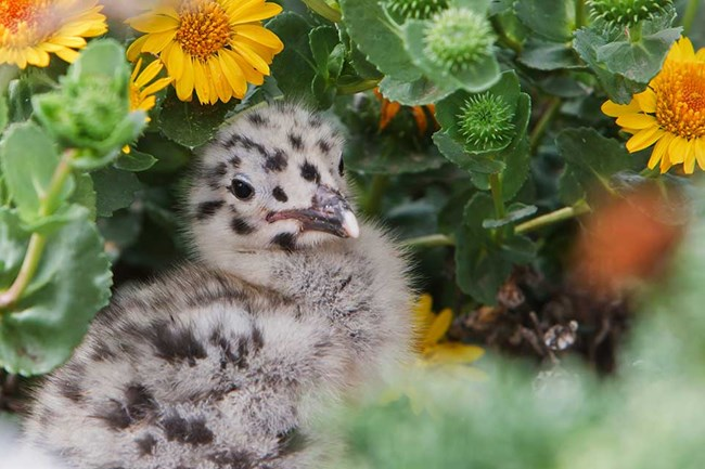 western gull chick sitting in flowering bush