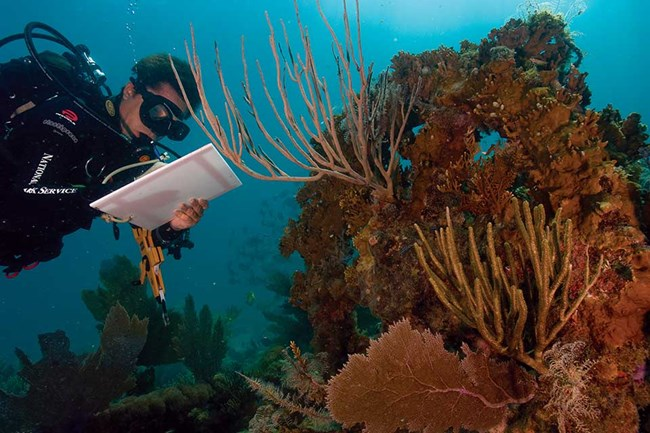 scuba diver studying coral underwater