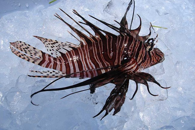 close-up view of a lionfish on a bed of ice