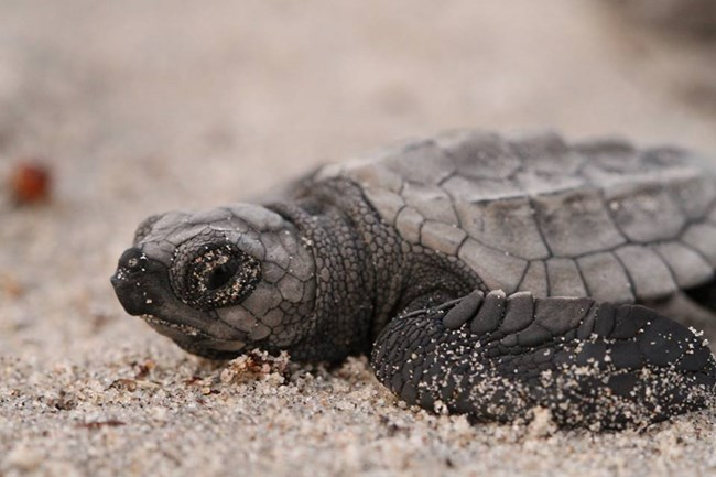 black baby sea turtle moving across the sand