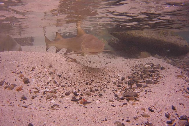 tan shark swimming above sandy bottom in shallow water