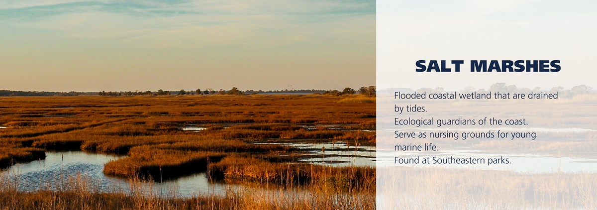 Salt marsh during sunset. Text over image reads: Flooded coastal wetland that are drained by tides. Ecological guardians of the coast. Serve as nursing grounds for young marine life. Found at Southeastern parks.
