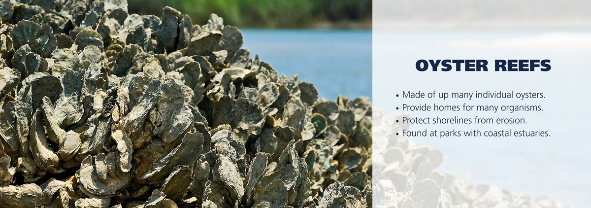Oyster reef with text over image reading: Made of up many individual oysters. Provide homes for many organisms. Protect shorelines from erosion. Found at parks with coastal estuaries.