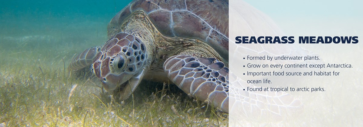 A sea turtle eats seagrass. Text over image reads: Formed by underwater plants. Grow on every continent except Antarctica. Important food source and habitat for ocean life. Found at tropical to arctic parks.