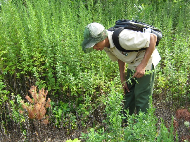 Youth Conservation Crew member leans over to observe vegetation