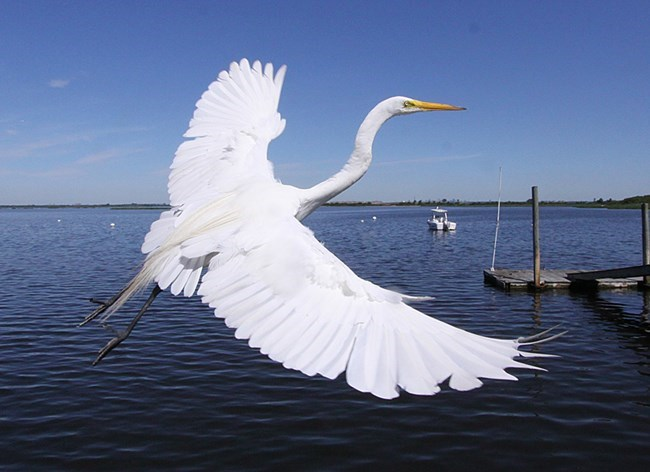Great egret near water, with a long wingspan, white feathers, and long thin neck