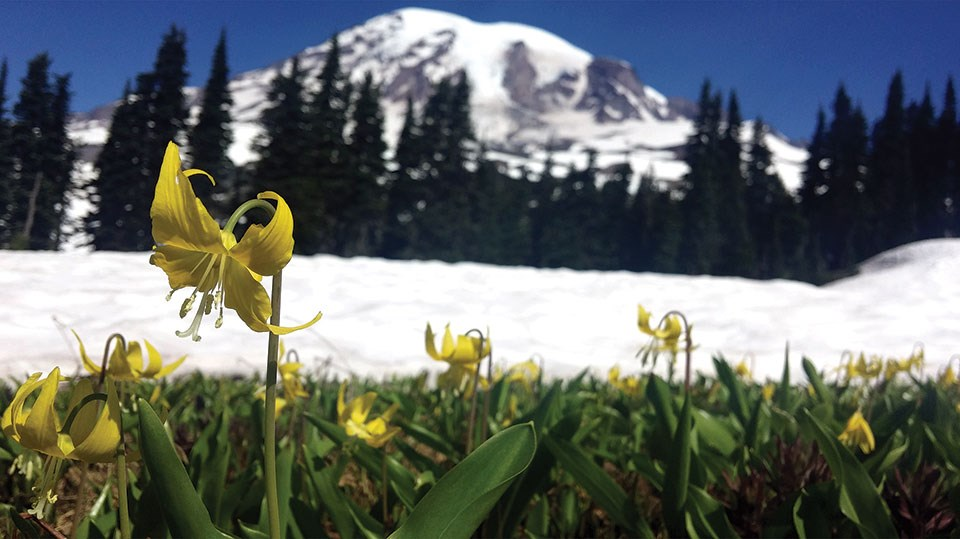 Yellow glacier lilies (Erythronium grandiflorum) bloom near a snowfiled at Mount Rainier National Park.