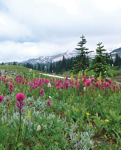 Subalpine hillsides covered in wildflowers at Mount Rainier National Park, Washington, particularly magenta-colored mountain Indian paintbrush.