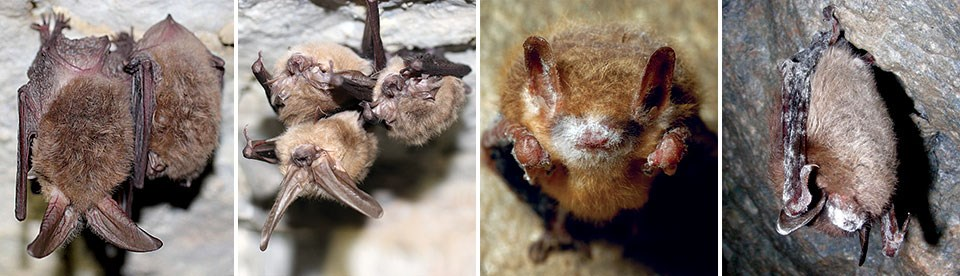 A: Cluster of healthy Townsend's big-eared bats. B: Cluster of healthy Townsend's big-eared bats. C: A tricolored bat in a cave at Cloudland State Park, Georgia, 2013, with fully expressed white-nose syndrome. D: A little brown bat at the Greeley Mine, Ve