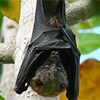 A fruit bat hangs from a tree