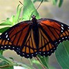 A orange and black butterfly sits on a green leaf
