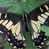 A black and yellow butterfly on a green leaf