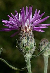 Purple spotted knapweed plant