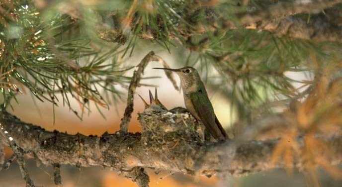 A mother hummingbird sits by her nest tucked in a conifer tree. Poking out of the nest are two hummingbird beaks.