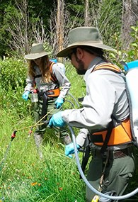 Two people are spaying green vegetation with chemicals.