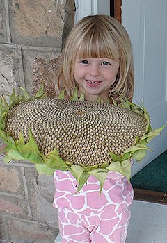 A little girl holds the head of a sunflower