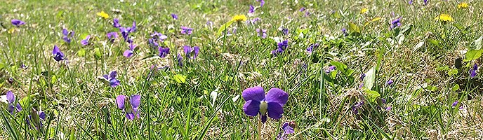 Short purple and yellow flowers are see in the green grass of a backyard