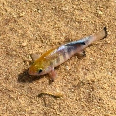 A small brown fish against a sandy bed