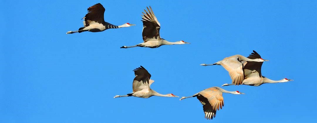 Sandhill Cranes flying west of Great Sand Dunes National Park and Preserve
