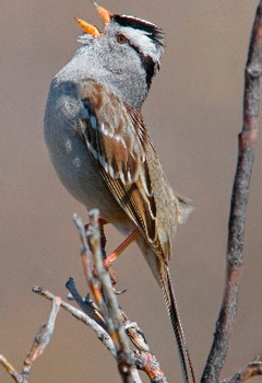 A White-crowned Sparrow sings while perched on a branch.