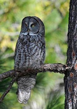 A Great Gray Owl perched on a branch of a pine tree.