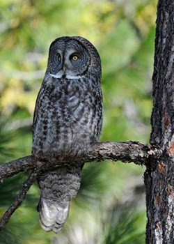 A great gray owl perches on a tree branch.