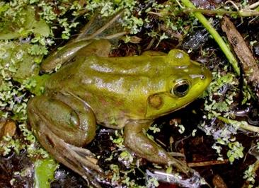 green tree frog   Layman's Terms Media
