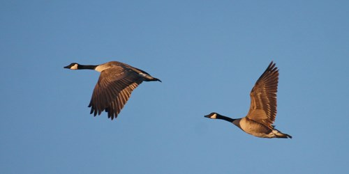 Two Canada Geese flying against a blue sky.
