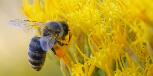 Honey bee hovers next to yellow flowers