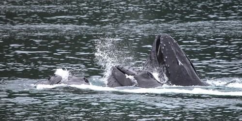 Humpback whales partially out of the water