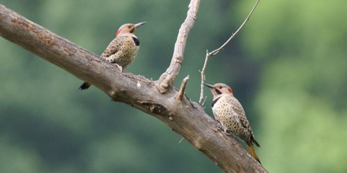 Two woodpeckers perched on a branch
