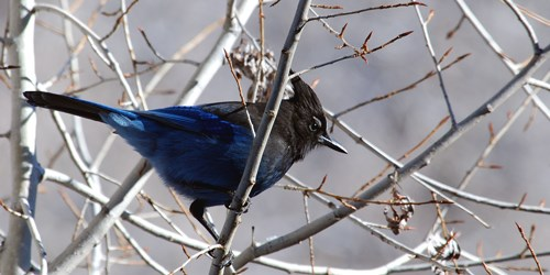 Blue bird with black head and crest perched on thorny branch.