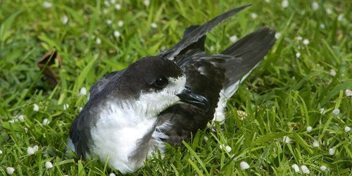 Gray and white seabird resting on grass.